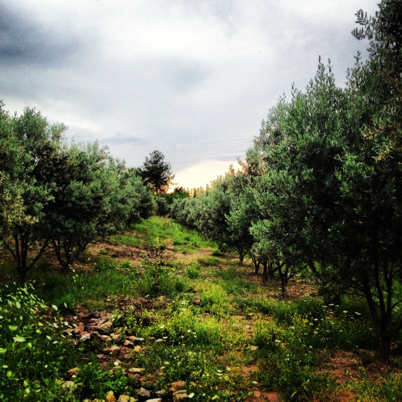 Olive and citrus groves all around