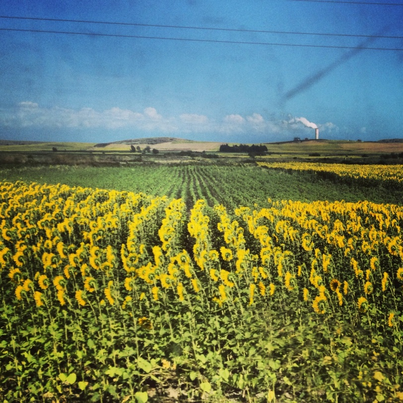 Sunflower fields around Osmaniye