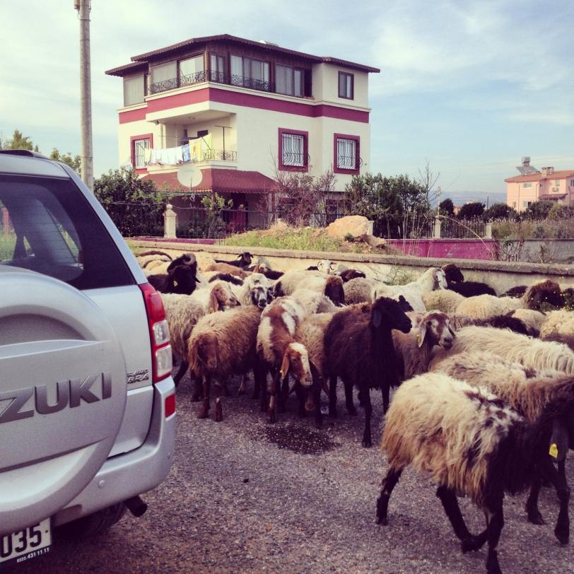 A flock of sheep greeted us as we pulled up.